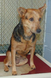 Dipsy, an adoptable German Shepherd Dog & Cattle Dog Mix in Conover, NC