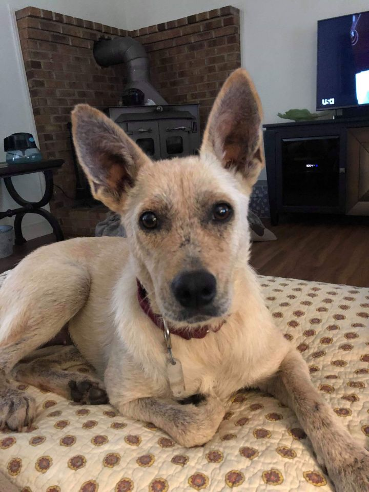 Dahlia, an adoptable German Shepherd Dog & Cattle Dog Mix in Conover, NC