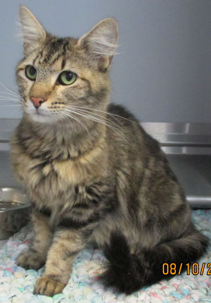 42445085, an adopted Domestic Medium Hair Mix in Elko, NV