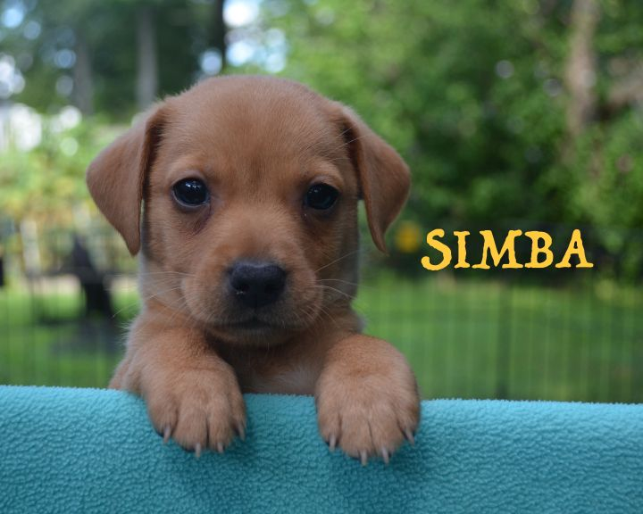Simba, an adopted Dachshund & Chihuahua Mix in Berkeley Heights, NJ