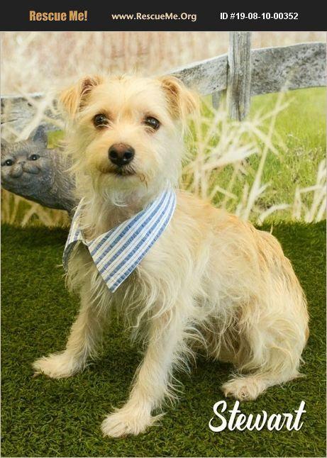 Dog for adoption - Stewart, a Cairn Terrier Mix in Marana