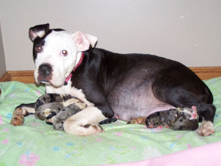 Lena, an adoptable Pit Bull Terrier in Durham, NC