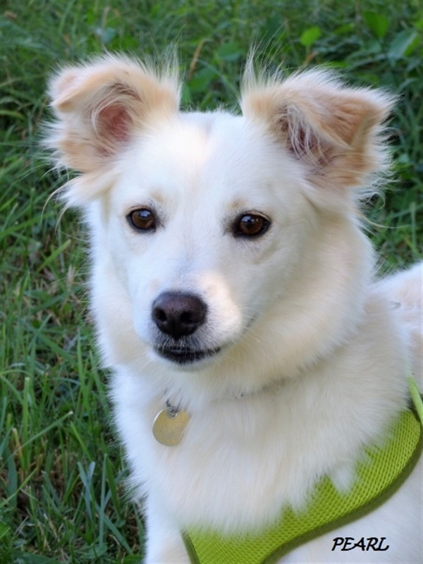 Pearl, an adoptable American Eskimo Dog & Border Collie Mix in Louisville, KY