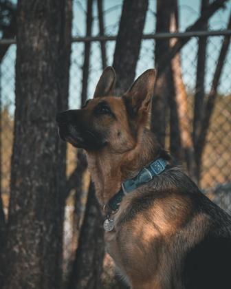 Dog for adoption - Sadie, a German Shepherd Dog Mix in
