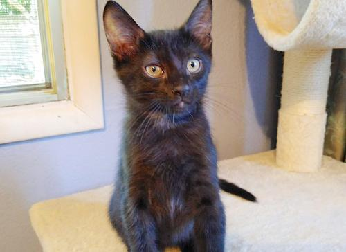 Triscuit, an adoptable Domestic Short Hair Mix in Springfield, OR