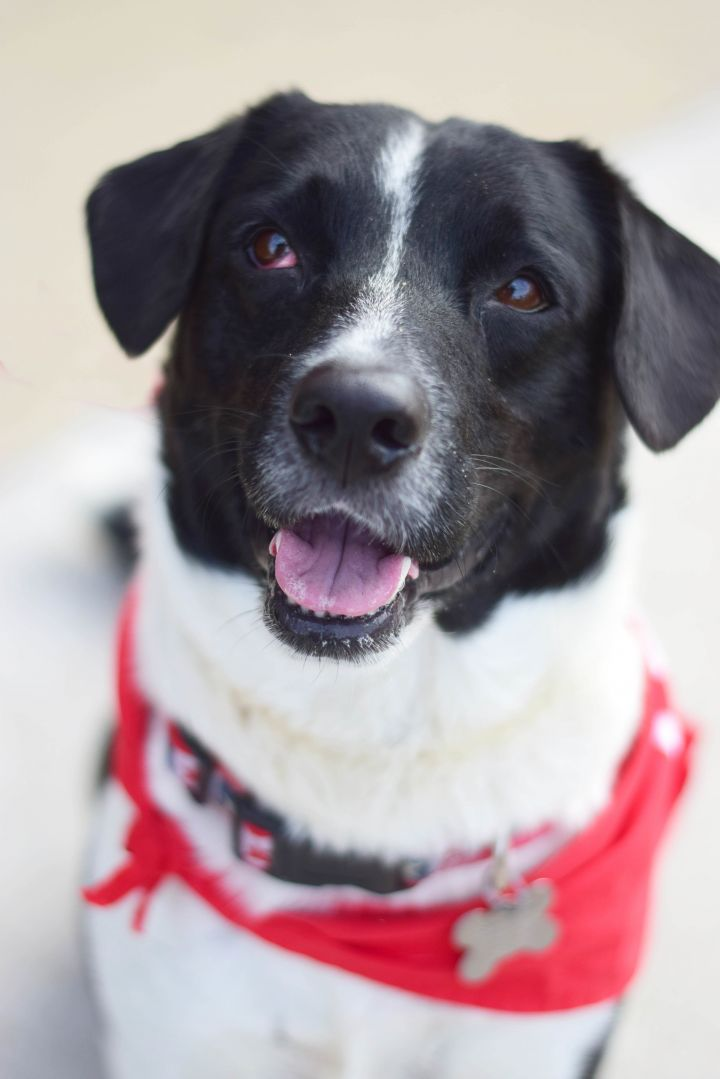 Blitz, an adoptable Border Collie & Retriever Mix in Roselle, IL