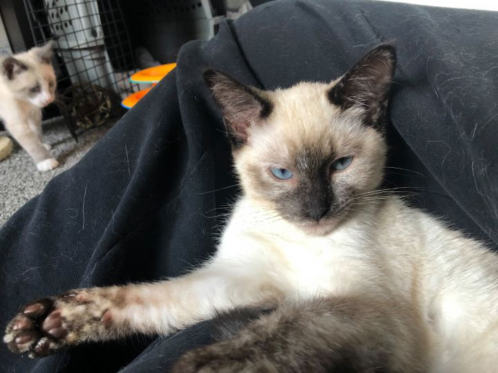 Lady, an adoptable Siamese Mix in Orem, UT