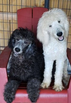 Dog for adoption - Standard Poodles, a Poodle in Woodsfield