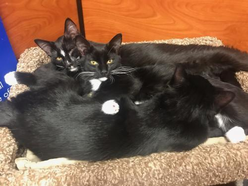 Shasta, an adoptable Tuxedo & Domestic Short Hair Mix in Springfield, OR