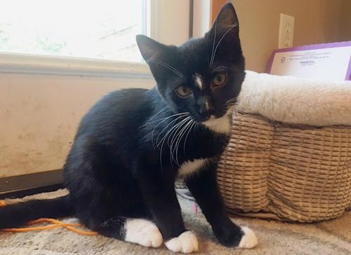 Lassen, an adoptable Tuxedo & Domestic Medium Hair Mix in Springfield, OR