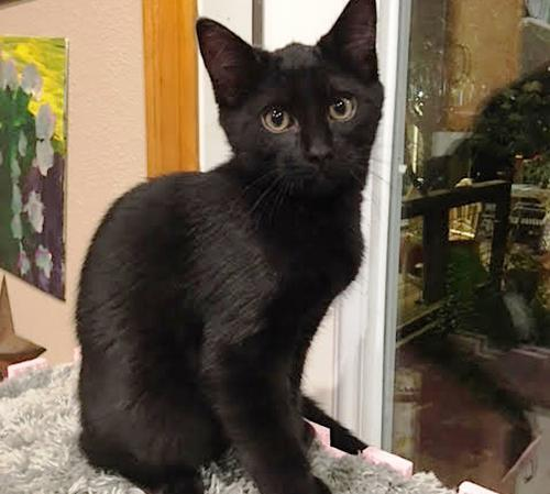 Siskiyou, an adoptable Domestic Short Hair Mix in Springfield, OR