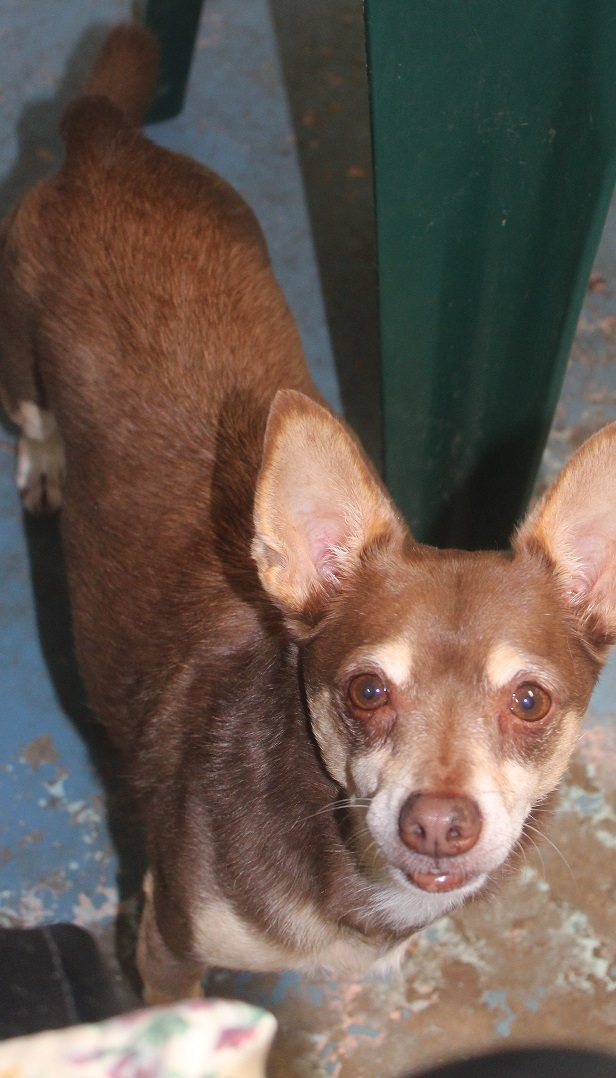 Dog for adoption - CO CO, a Chihuahua in Savannah, GA