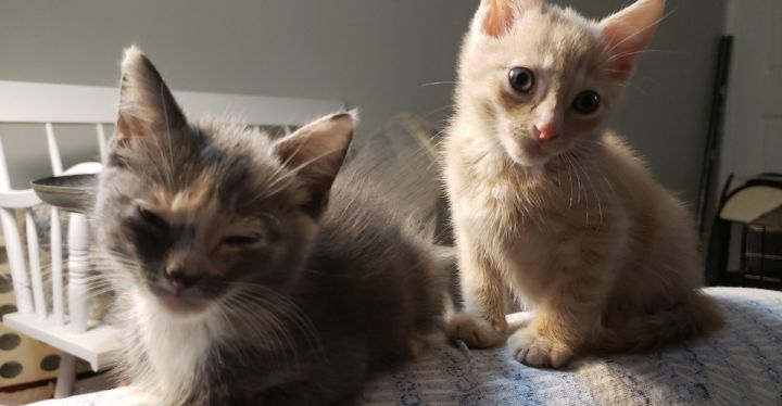 Harper & Zion, an adopted Tortoiseshell & Dilute Calico Mix in Randolph, NJ