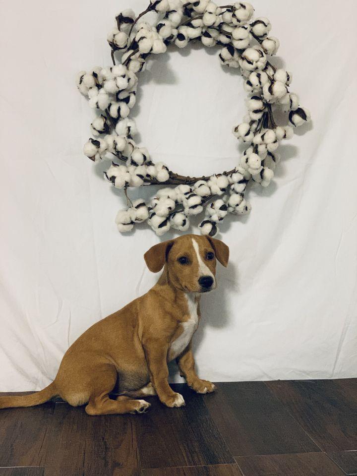 Dog for adoption - Hank, a Feist & Dachshund Mix in Hamburg