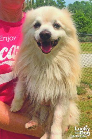 Dog for adoption - Hugsy, a Pomeranian Mix in Washington, DC