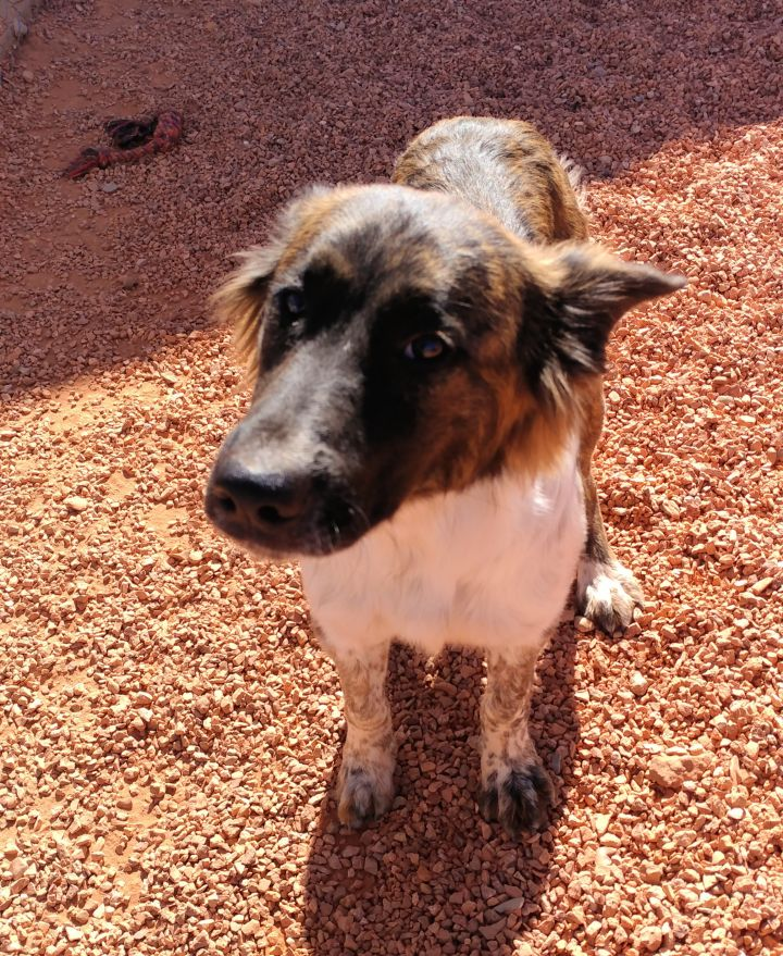 Rocco, an adopted Border Collie & Australian Shepherd Mix in Washington, UT
