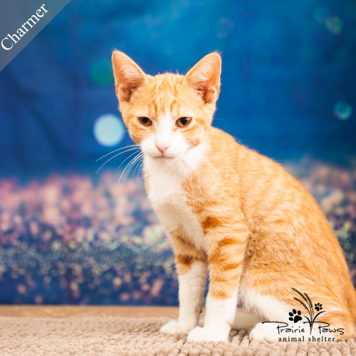 Charmer, an adopted Domestic Short Hair in Ottawa, KS
