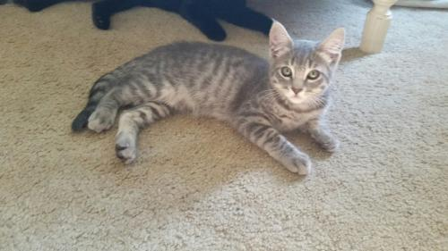 Tina, an adoptable Tabby & Domestic Short Hair Mix in Springfield, OR