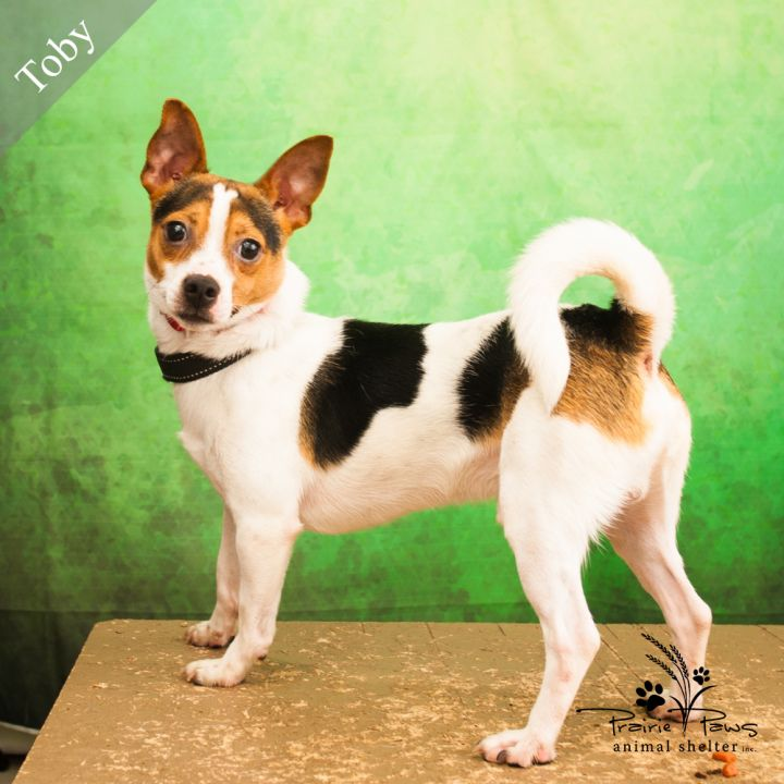 Toby, an adopted Jack Russell Terrier Mix in Ottawa, KS