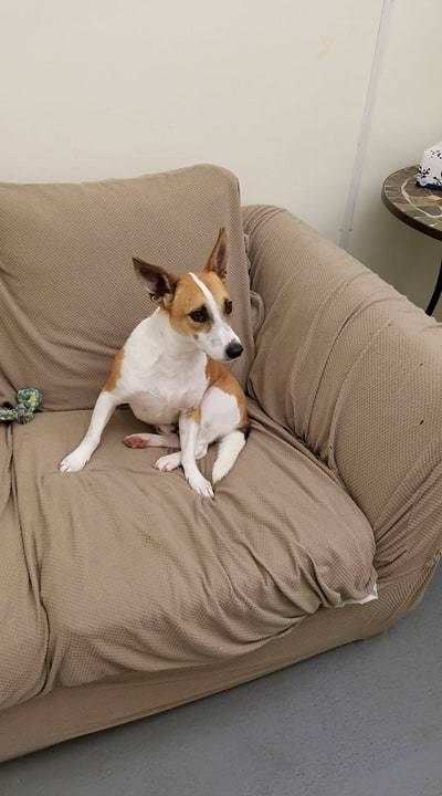 Roscoe, an adopted Jack Russell Terrier Mix in Milan, IL