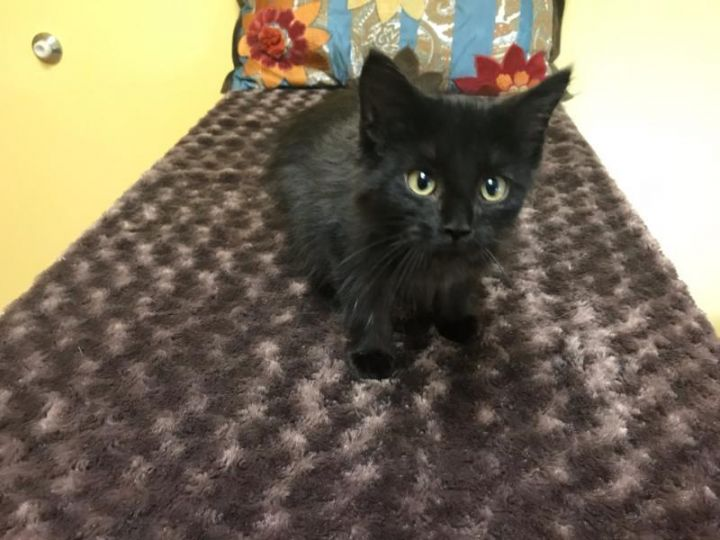 Panther*ADOPTION*PENDING, an adoptable Domestic Long Hair & Domestic Medium Hair Mix in Waverly, IA