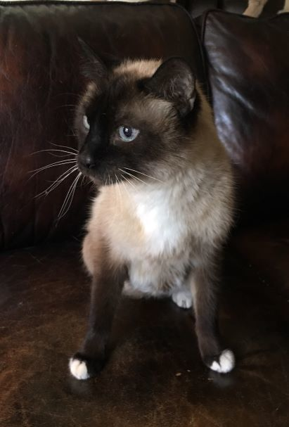 Willie, an adoptable Domestic Short Hair & Siamese Mix in Spanish Fork, UT