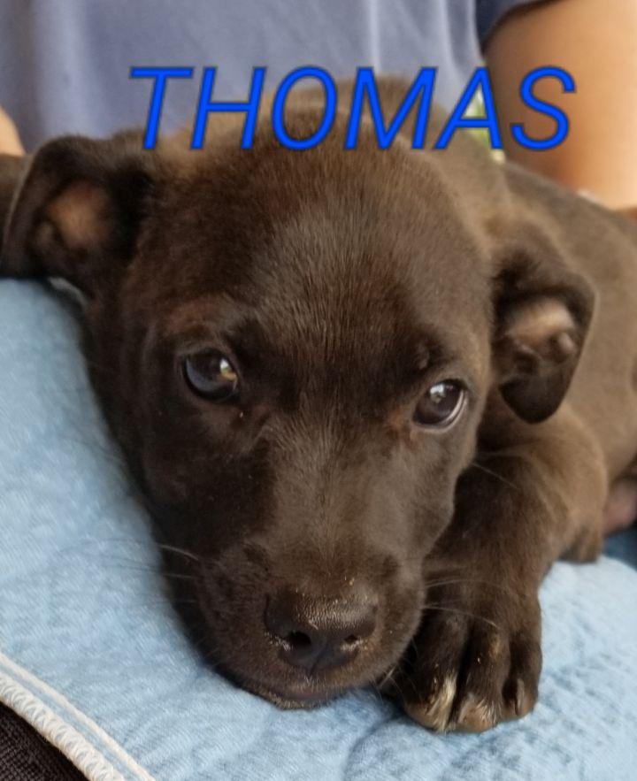 Dog for adoption - Thomas, a Black Labrador Retriever Mix in