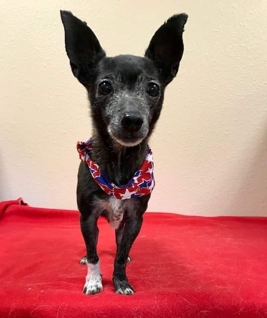 Trixie, an adoptable Chihuahua in Dallas, TX