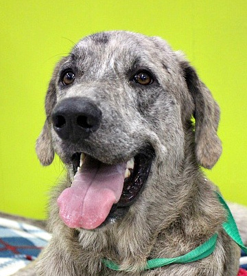 Lucky Luke, an adopted Great Pyrenees Mix in Reston, VA