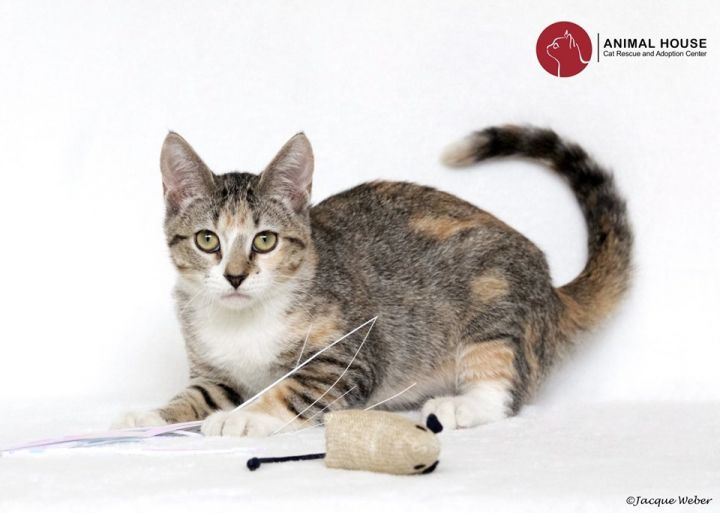 Wren, an adoptable Domestic Short Hair in St. Louis, MO