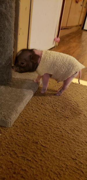 Pig for adoption - HAWKE, a Pig in Ocala, FL | Petfinder