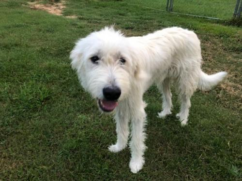 Dog for adoption - Max - Adoption Pending!, a Great Pyrenees