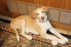 Rico, an adopted Labrador Retriever Mix in Honeoye Falls, NY