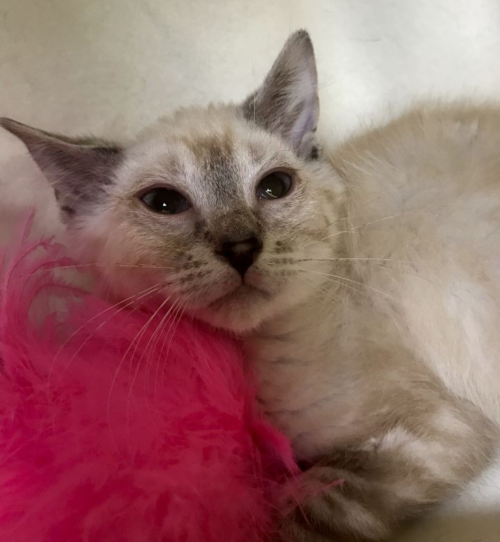 Cat for adoption - Shy, a Siamese Mix in Buffalo, NY | Petfinder