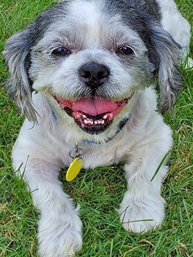 Bandit, an adoptable Shih Tzu in Chatham, ON