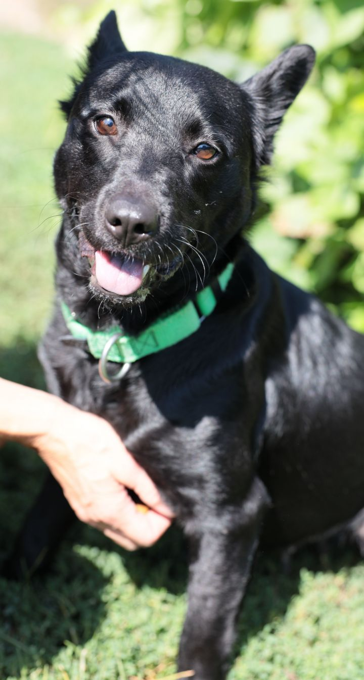 Ebony, an adoptable Terrier Mix in Naperville, IL