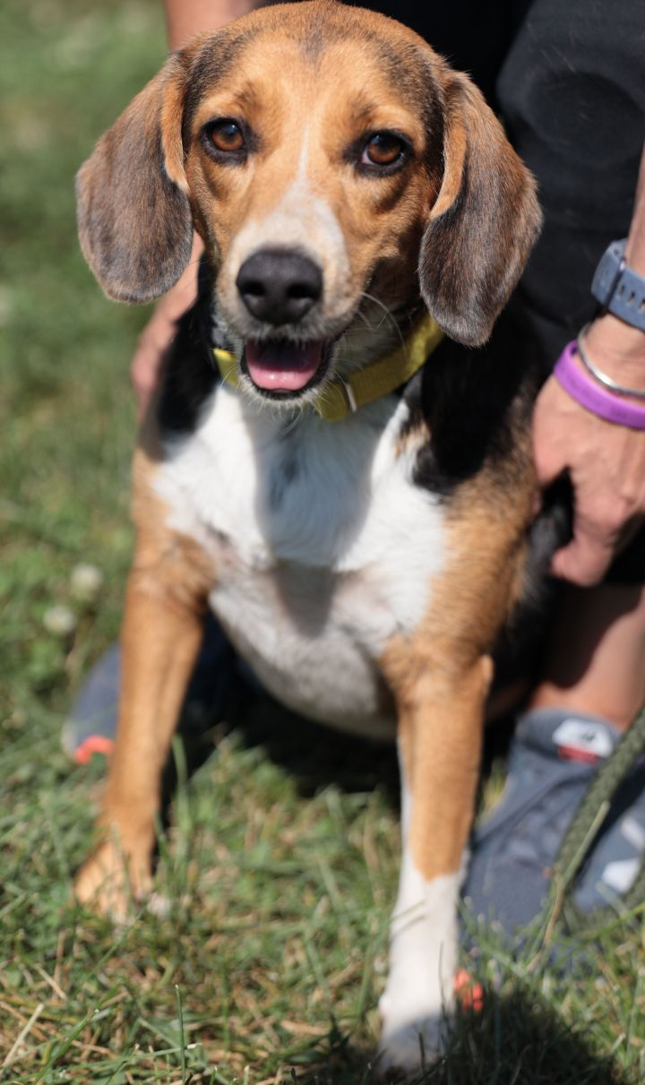 Lucy Lou, an adopted Beagle Mix in Naperville, IL