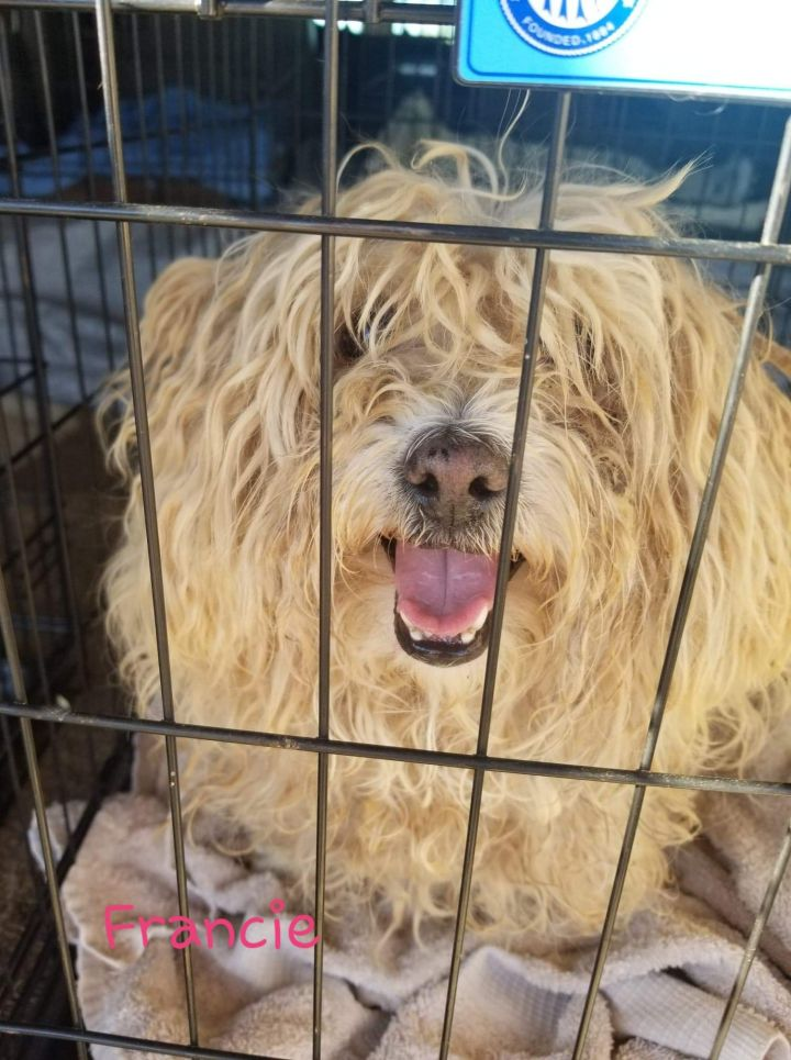 Dog for adoption - Fancie, a Poodle & Cocker Spaniel Mix in