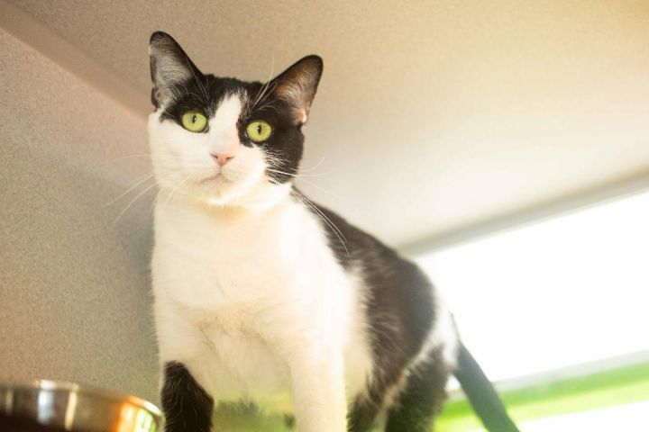 Duckworth, an adoptable Domestic Short Hair & Tuxedo Mix in Los Angeles, CA