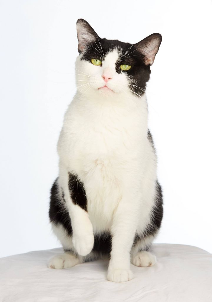 Duckworth, an adopted Domestic Short Hair & Tuxedo Mix in Los Angeles, CA