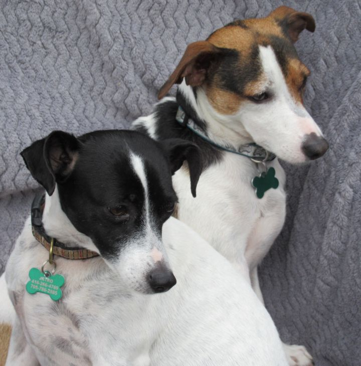 Ben and May, an adopted Jack Russell Terrier in Toronto, ON