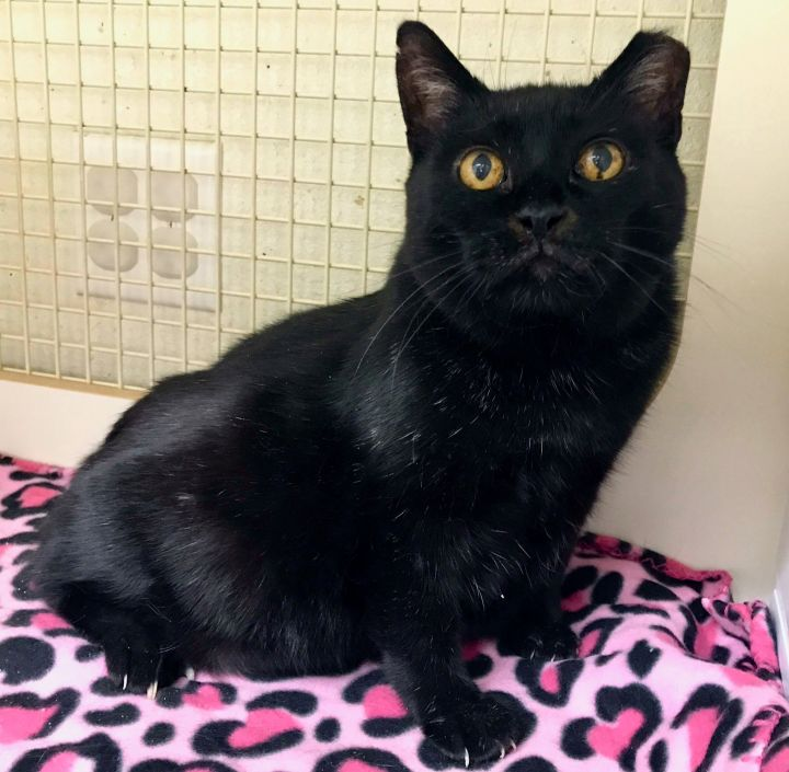 MAMA, an adoptable Domestic Short Hair Mix in Orem, UT