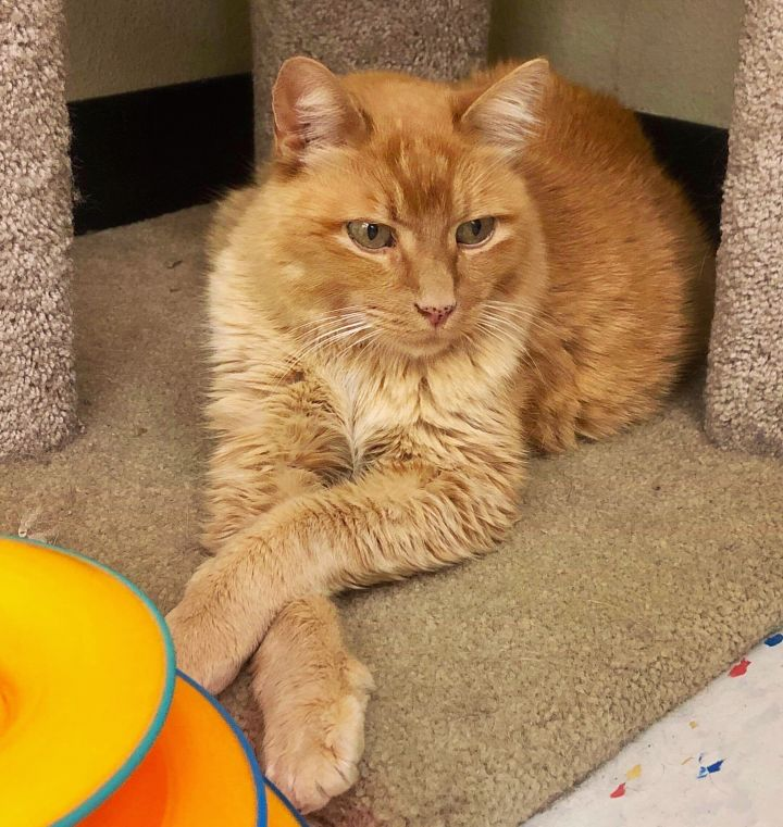 Copper, an adoptable Domestic Short Hair Mix in Orem, UT