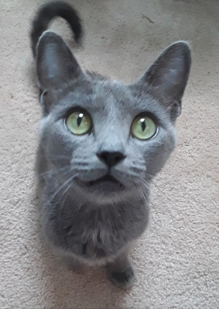Anastasia, an adoptable Russian Blue Mix in Waxhaw, NC