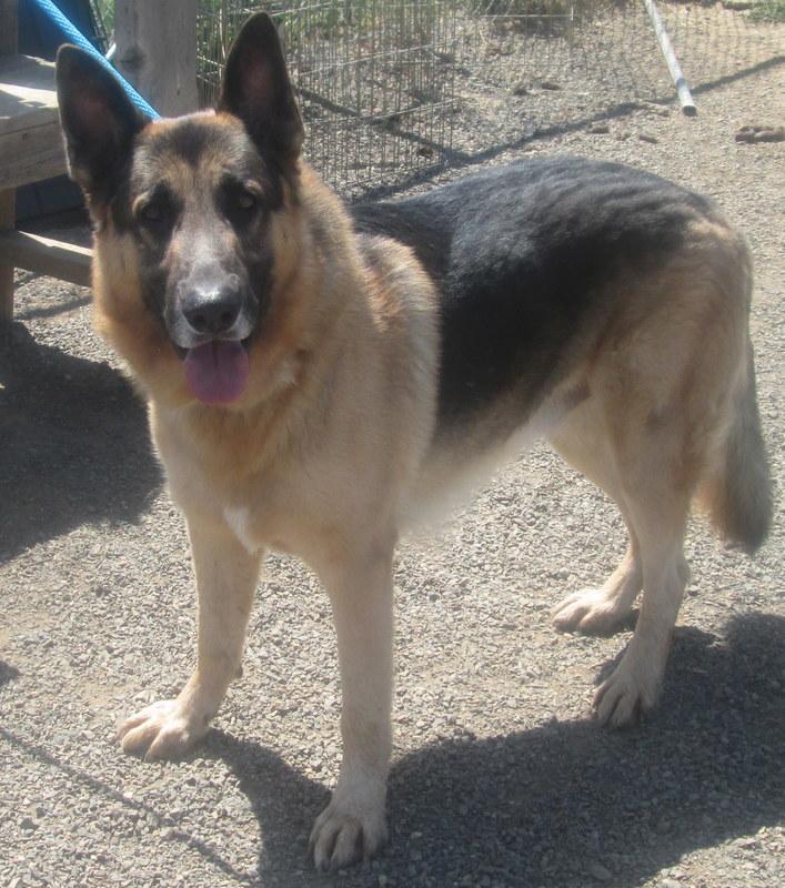 Dog for adoption - Sammy, a German Shepherd Dog in