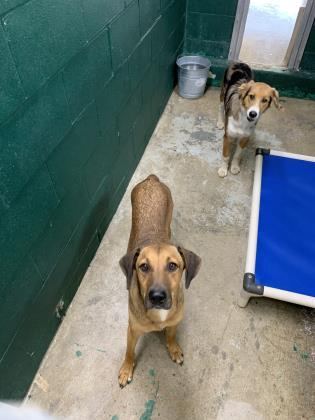 Motley~ $50 Survivor of Heart Worms!, an adopted Hound & Black Mouth Cur Mix in Leitchfield, KY
