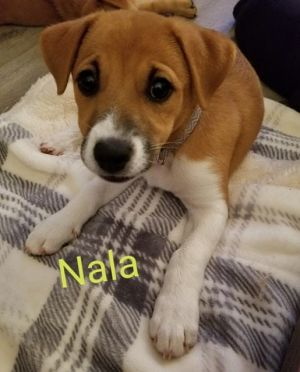 Dog for adoption - Nala, a Chow Chow Mix in Brewerton, NY