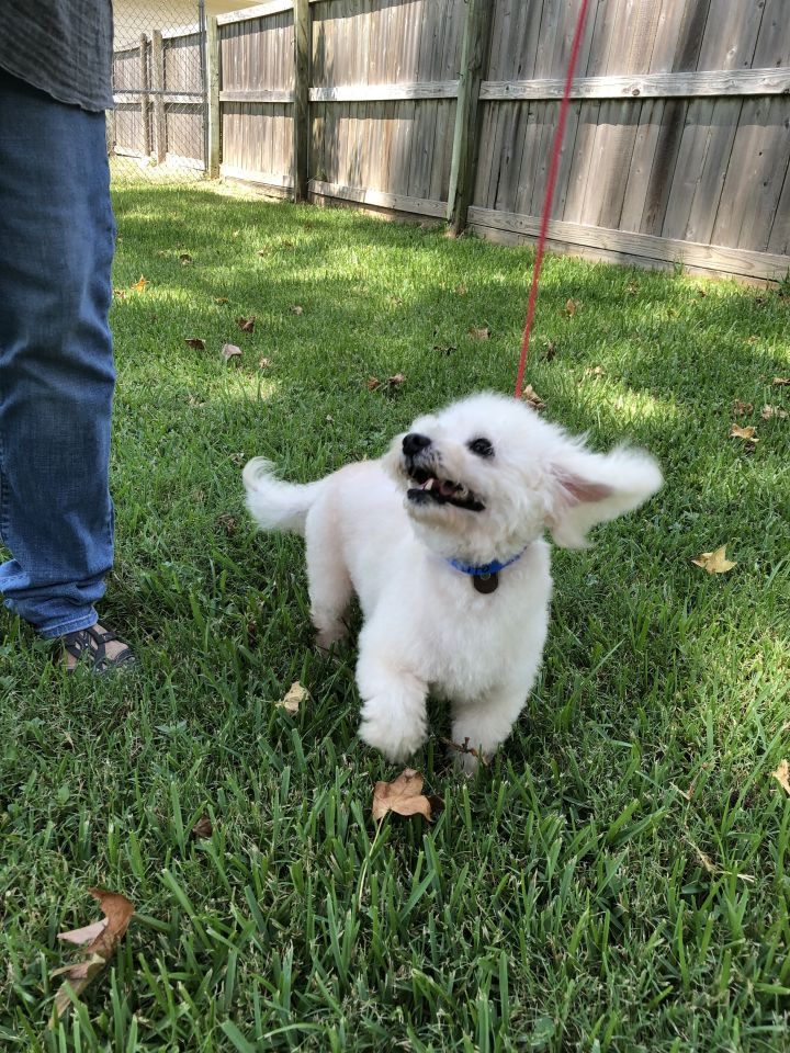 Tito, an adoptable Poodle in Houston, TX