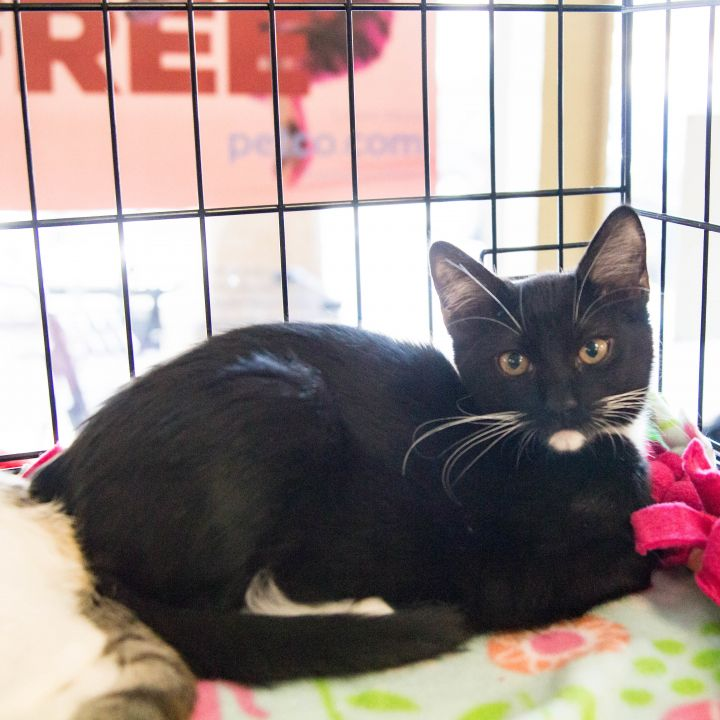 Socks, an adoptable Domestic Short Hair in Mission Viejo, CA