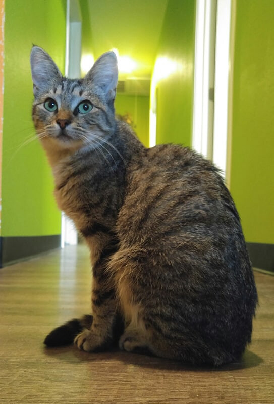 VIENNA, an adoptable Domestic Short Hair & Tabby Mix in Tyler, TX